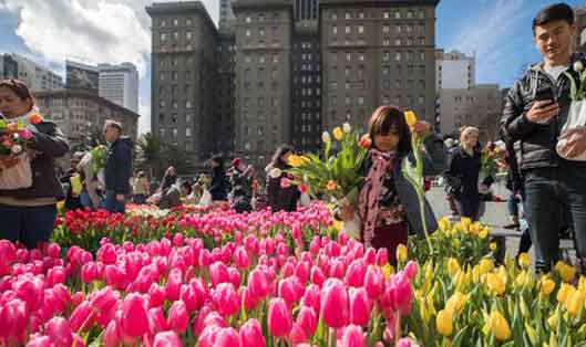 Thousands of Free Tulips in Union Square